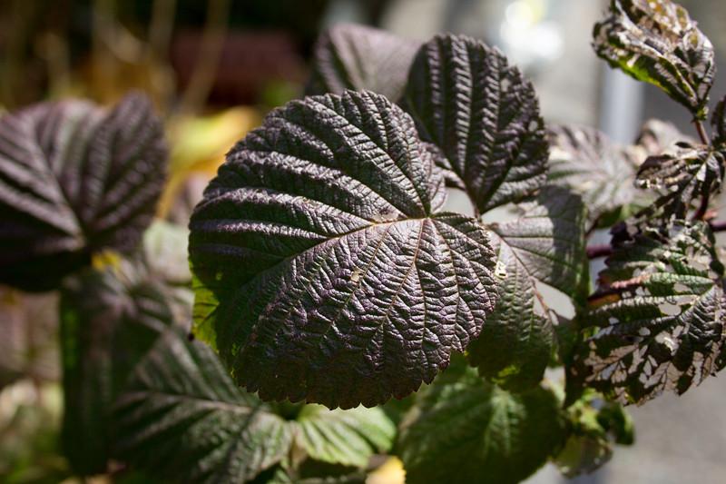 Raspberry leaves.jpg