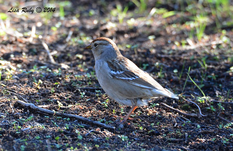 White-crowned Sparrow - 1/2/2015 - Lake Hodges, southeast trail (south of footbridge)