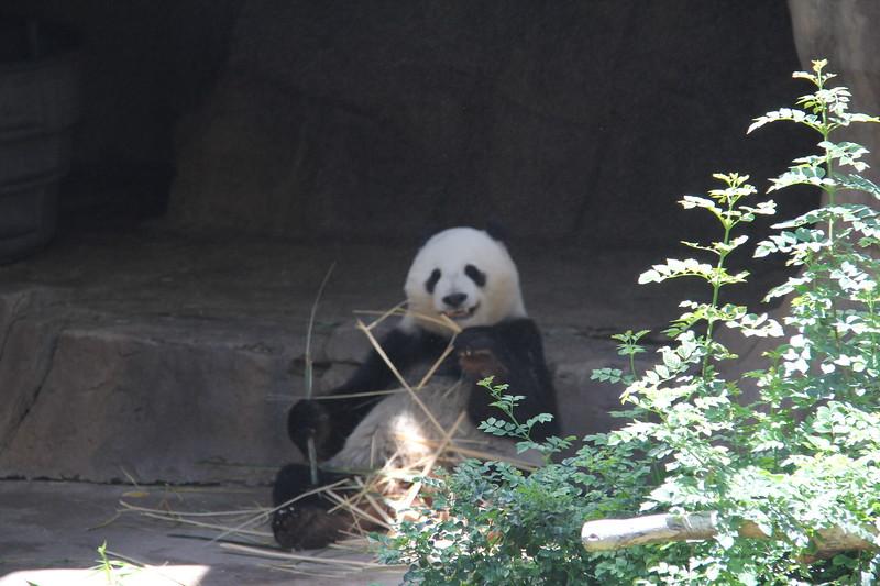 20170807-141 - San Diego Zoo - Giant Panda.JPG