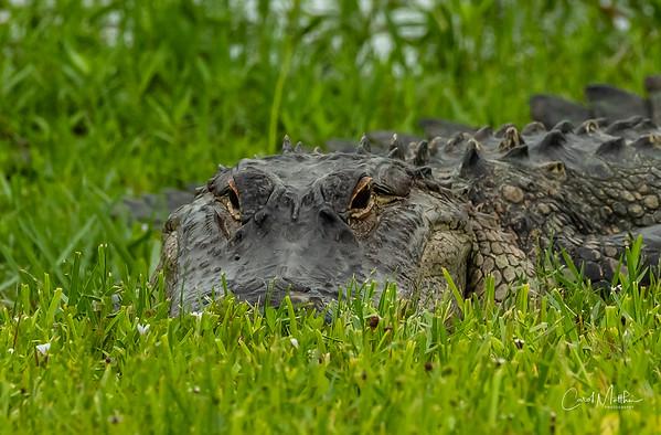 Alligators and turtles