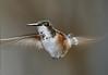 Rufous Hummingbird PSE IMG_4119