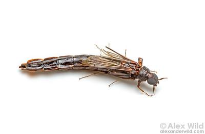 Atractocerus sp.