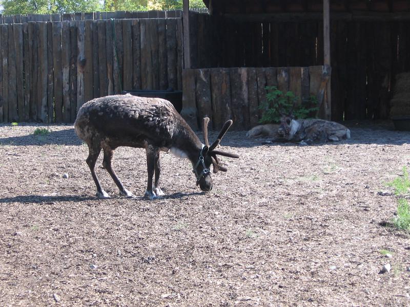 Wild Berry Reindeer