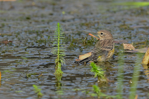 8-31-16 *^Yellow-rumped Warbler