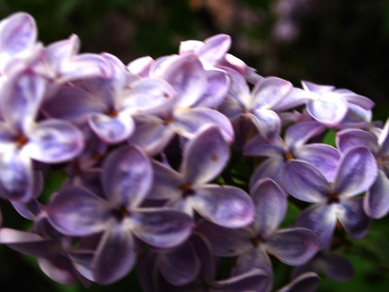 lilac19.JPG
