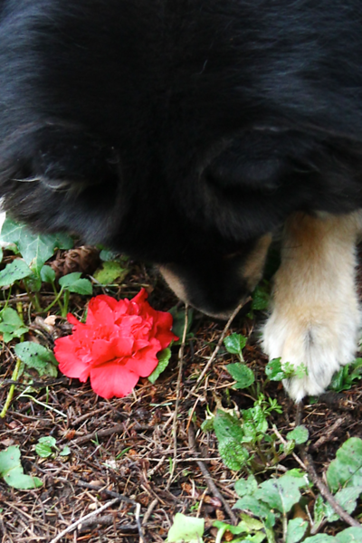 Onni was carrying around all the camellia blooms