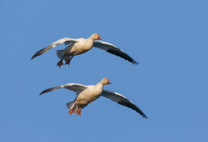 Snow Geese - in Flight