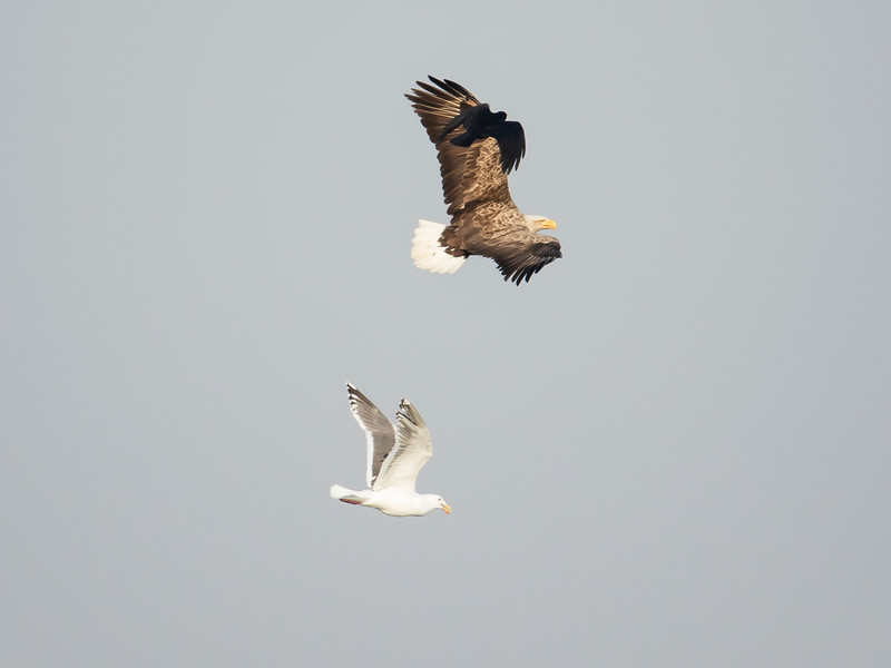 White-tailed Sea-eagle pursuing Slaty-backed Gull, with Carrion Crow following