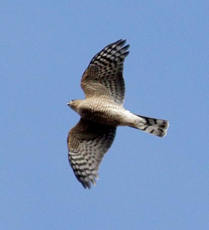 2015 Illinois Beach State Park (North) - Hawk Watch