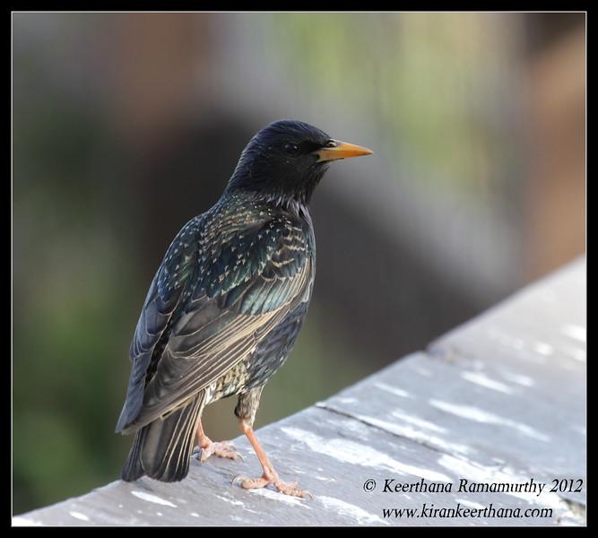 European Starling, La Jolla Cove, San Diego County, California, April 2012