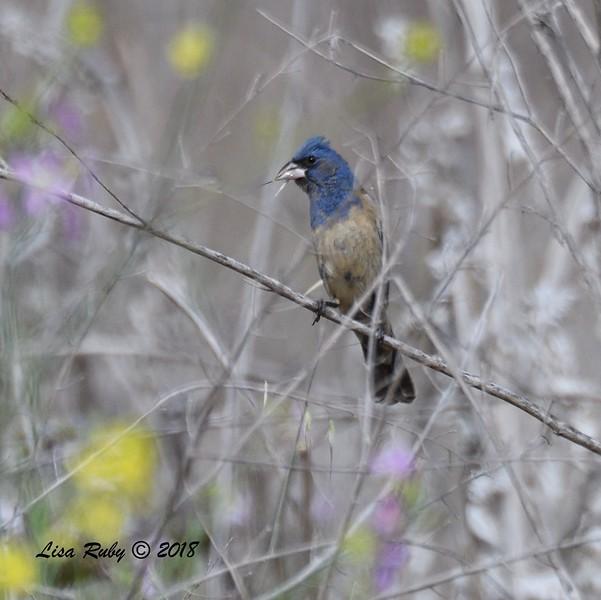 Immature Male Blue Grosbeak  - 5/13/2018 - Flintkote Ave. Torrey Pines State Reserve