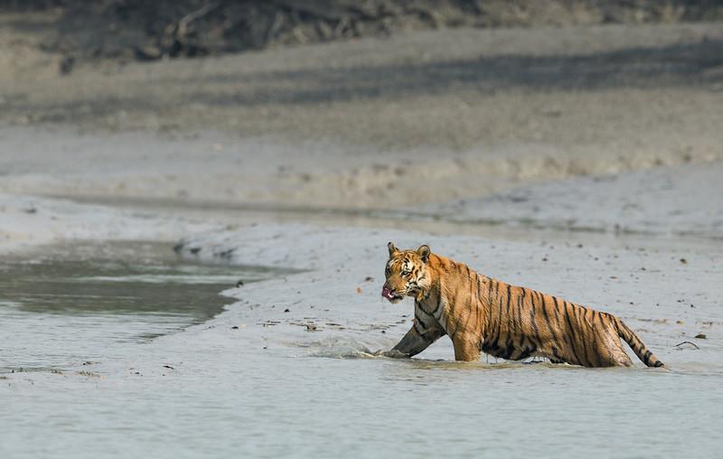 Tiger-Sundarbans.jpg