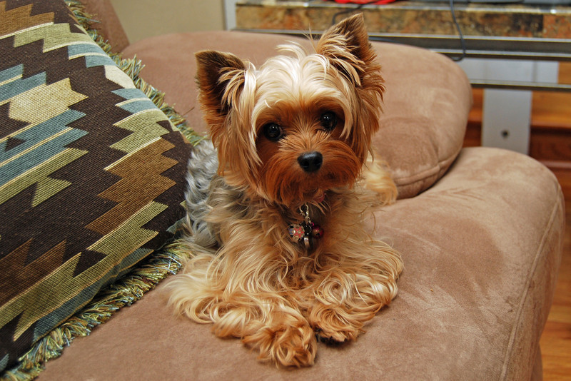 442 Jewels the Yorkie.jpg