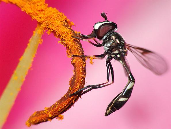 Pollen Suckin' Fly