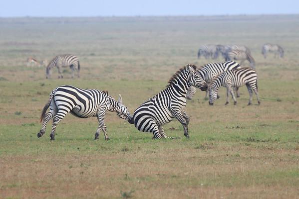 Zebra Mara 2014