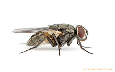 Musca domestica, the common house fly.