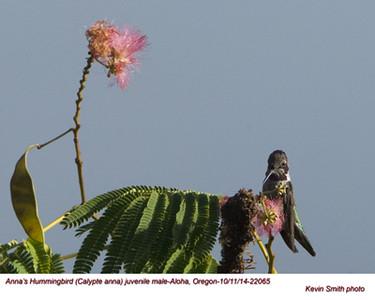 Anna's Hummingbird JM22065.jpg