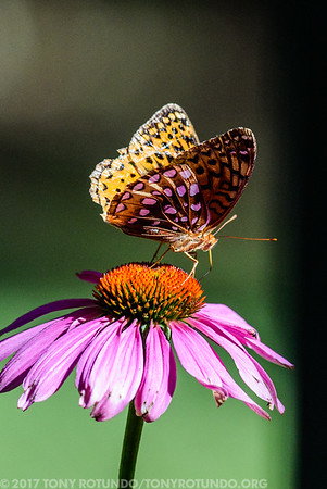 Butterflies and Eagles (Great Diamond Island)