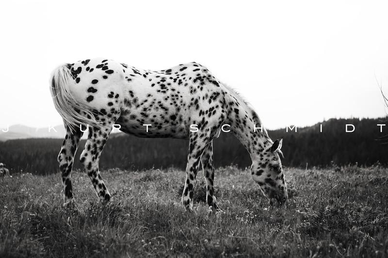 dapple horse.jpg