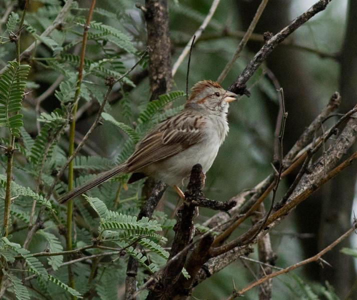 Rufous-winged Sparrow  Patagonia Arizona 2011 08 21-5.CR2