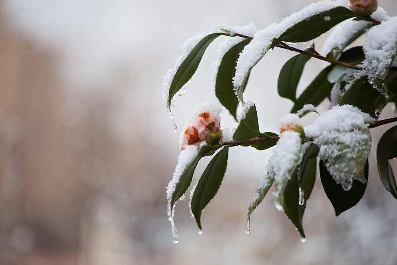 20160304 020 snow on flower.JPG