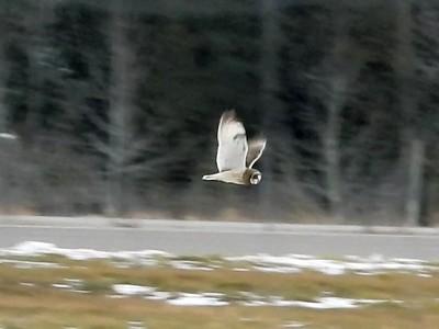 20201205 Short-eared Owl