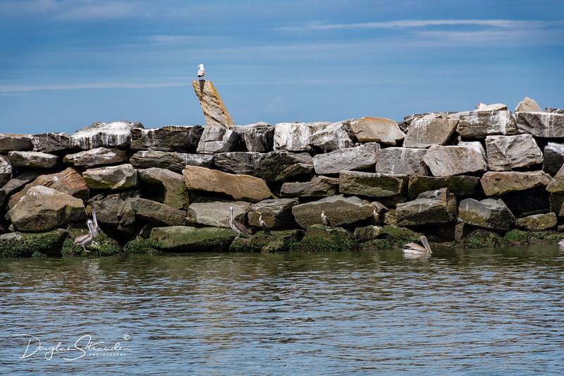 Gulls & Pelicans on the Breakwater