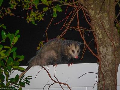 Daily sightings...2021-02-04...Opossum