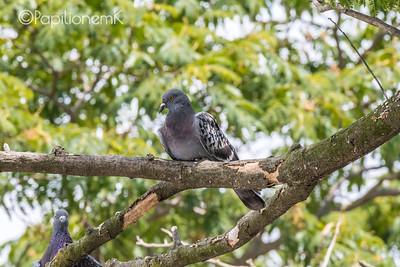 Feral Pigeons_Rock Dove
