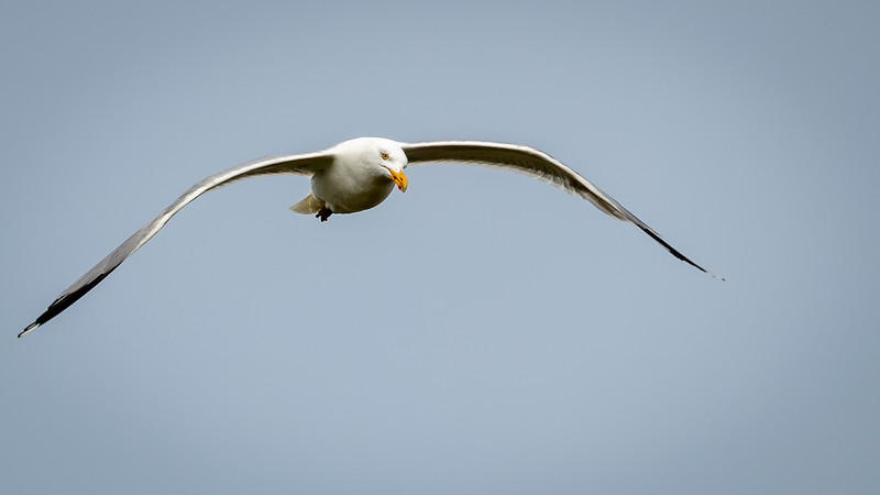 gull in flight -1384.jpg