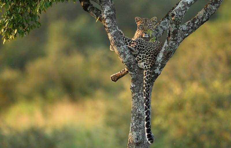 Leopard-Masai-Mara.jpg