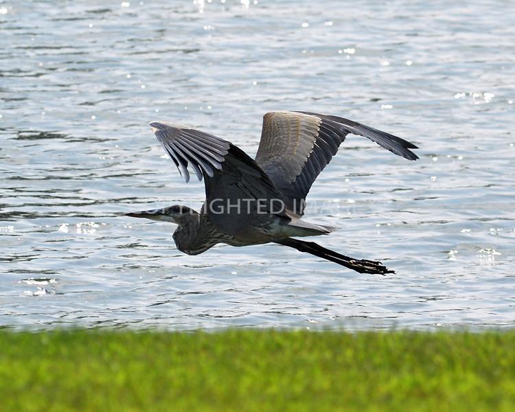 Blue Heron in Flight.jpg