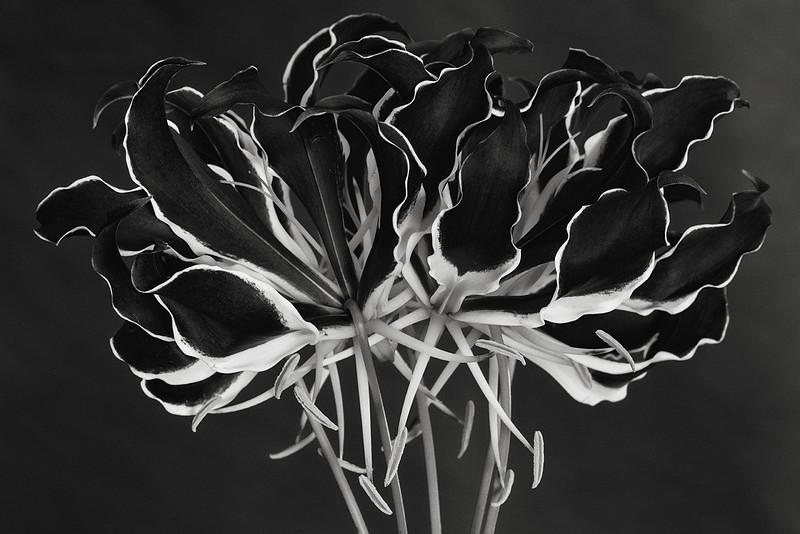 gloriosa-lily.jpg