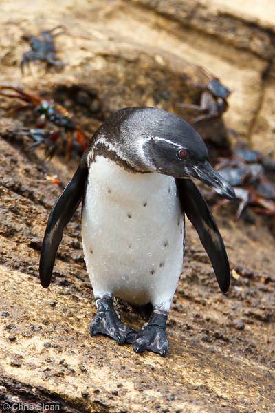 Galapagos Penguin at Punta Vicente Roca, Isabela, Galapagos, Ecuador (11-24-2011) - 837.jpg