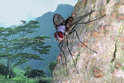 New Guinea Diptera (Flies, Mosquitoes)