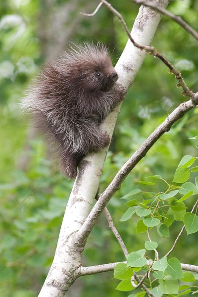 Porcupine baby CR47 Sax-Zim Bog MN IMG_2560.jpg