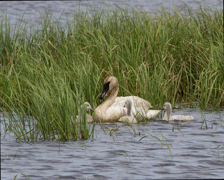 Mother swan with young