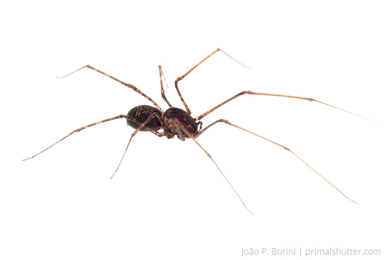 Spitting spider (Scytodes species) Piedade, SP, Brazil July 2012 Tropical rainforest