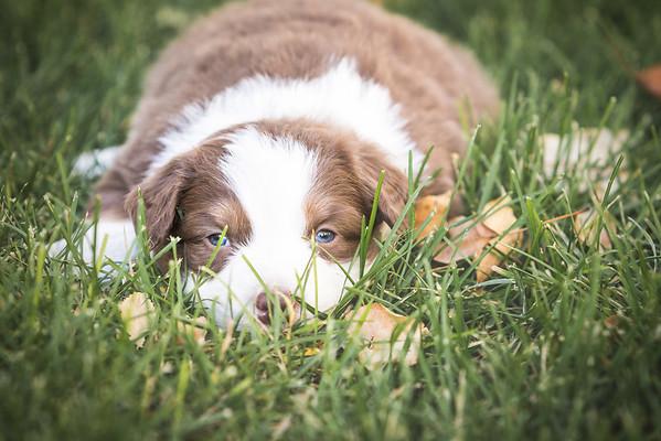 Nicole Lake - Standard Australian Shepherd Pups 10.21.16