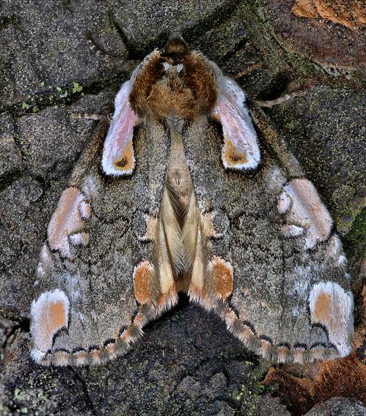 Eastern Dogwood Euthyatira Moth