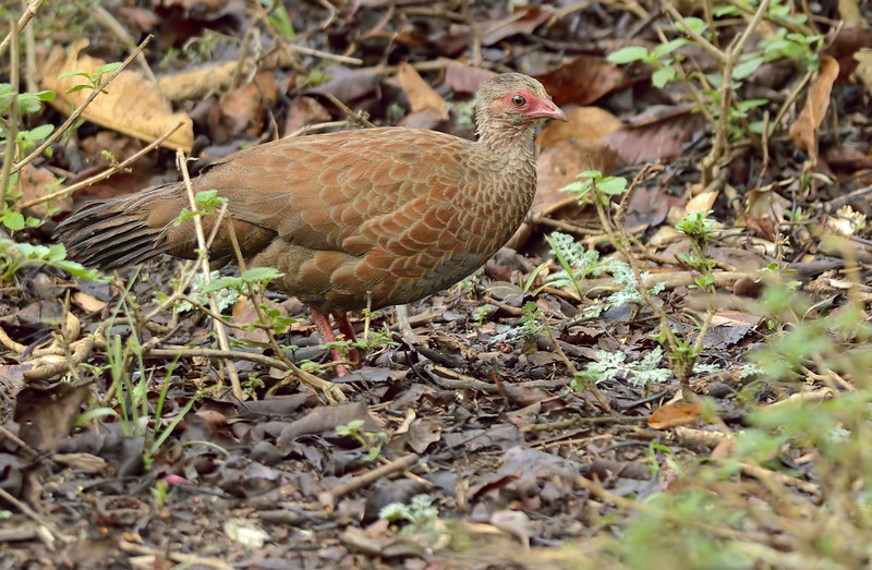 Red-Spurfowl.jpg
