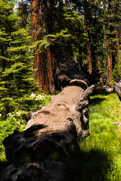 2019 San Francisco Yosemite Vacation 044 - Mariposa Grove.jpg