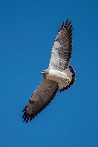 White-tailed Hawk - Laguna Seca Ranch-Edinburg, TX