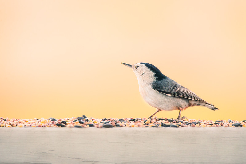 White-breasted Nuthatch-5590-Edit.jpg