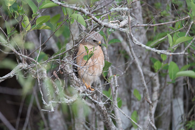 03_Everglades - Red-Shouldered Hawk