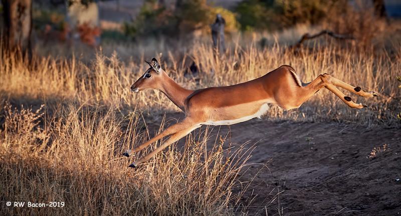Flying Impala.jpg
