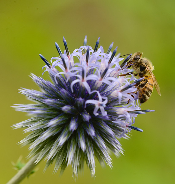 Honey Bee on Globe Thistle