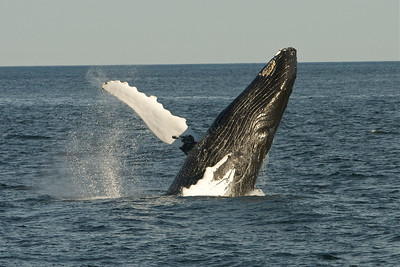 Whales of August 7, 2012