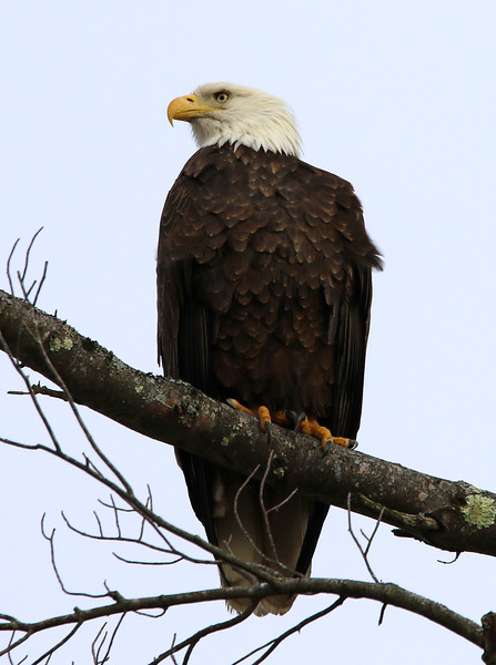 bald eagle maine.jpg