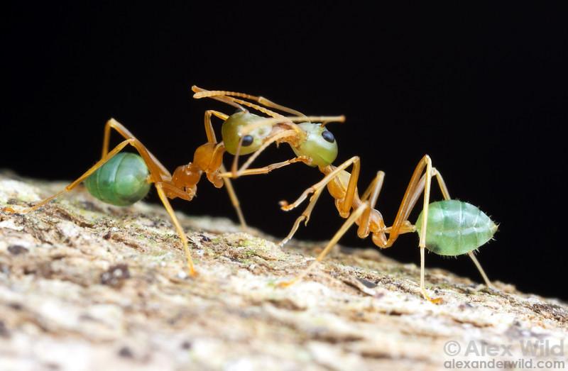 Oecophylla smaragdina, the green tree ant of northern Australia.  Cape York Peninsula, Queensland, Australia